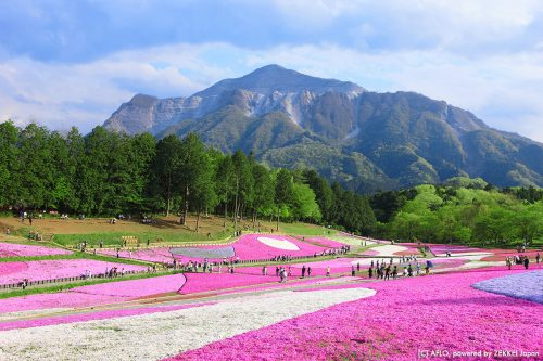 羊山公園,芝桜の丘