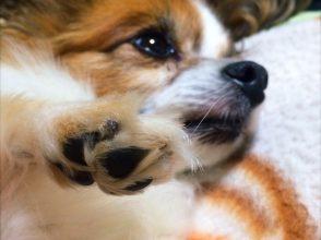 犬,パピヨン,かわいい