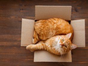 猫,箱,好き