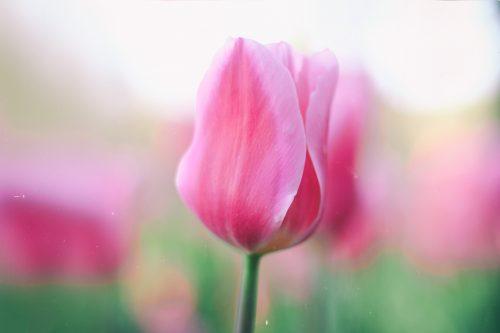 チューリップ, カラー占い, ピンク