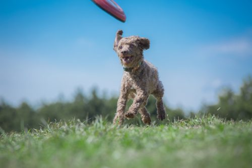 草原, 犬, フリスビー