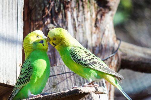 インコ同士のキス